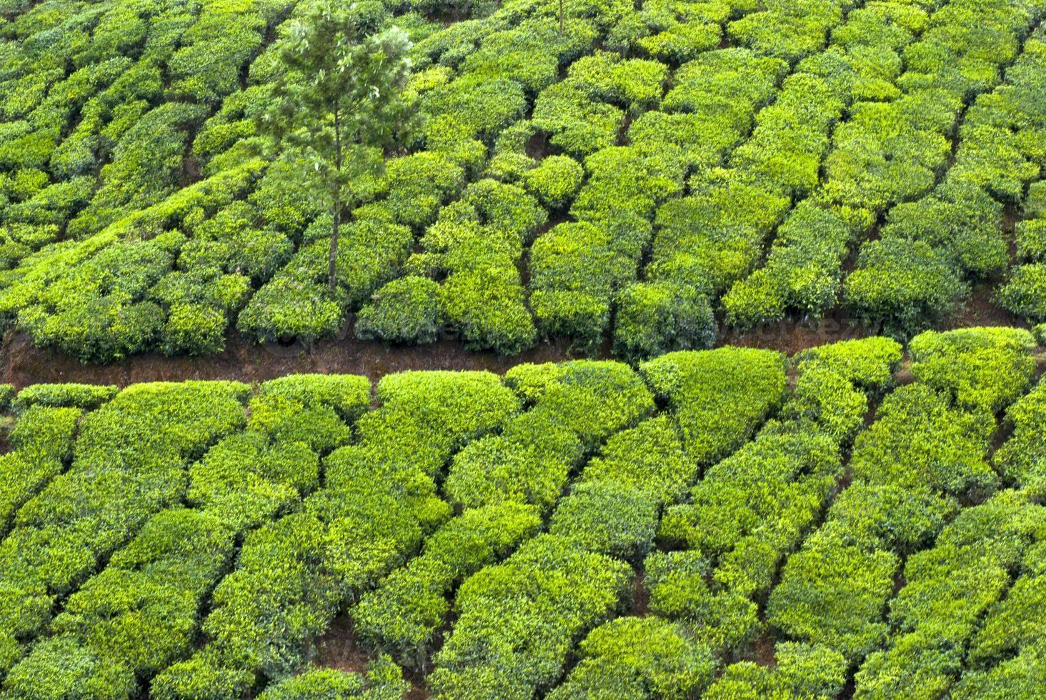teplantage, teskörd foto