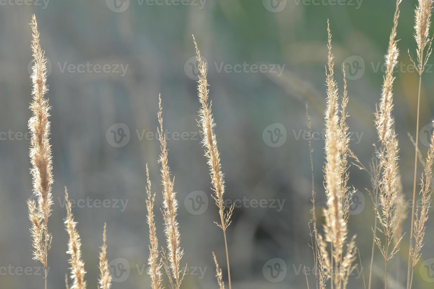 torr höstänggräs på nära håll foto