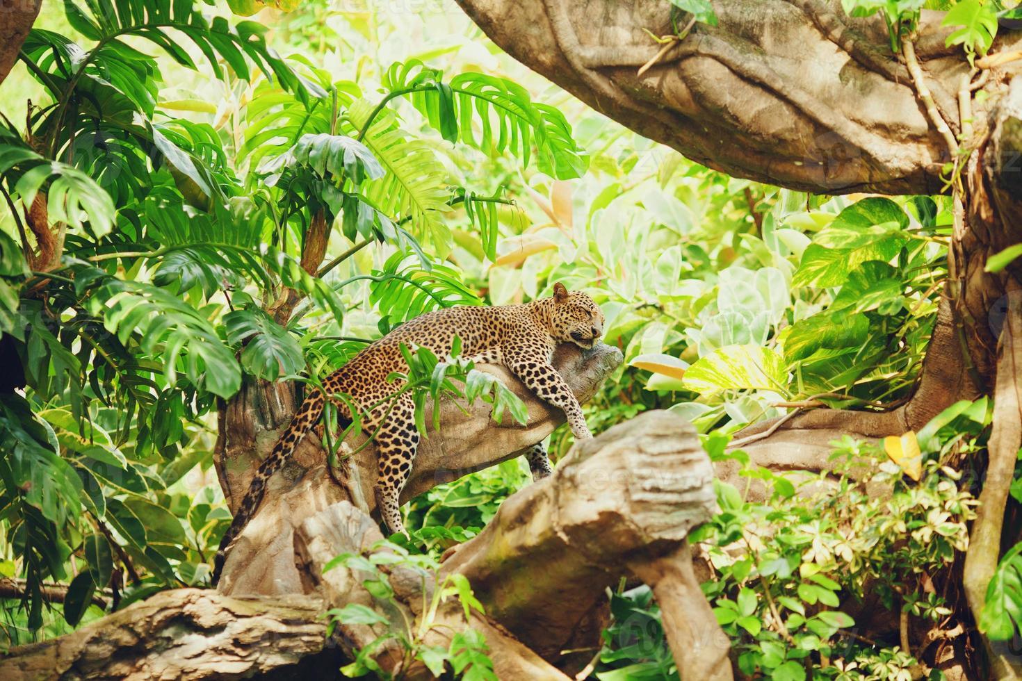 liggande (sovande) leopard på trädgren foto