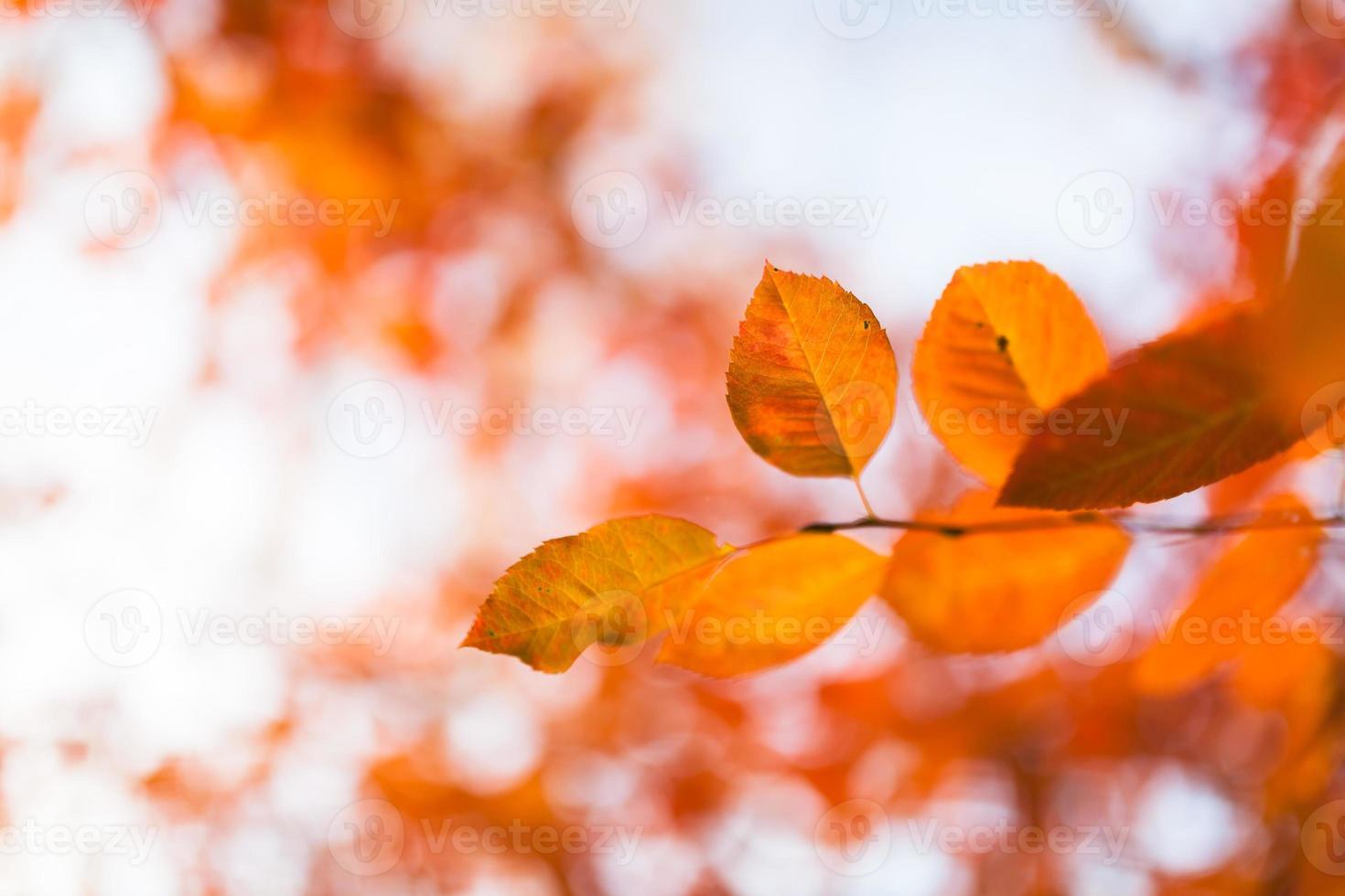 orange höstlöv foto