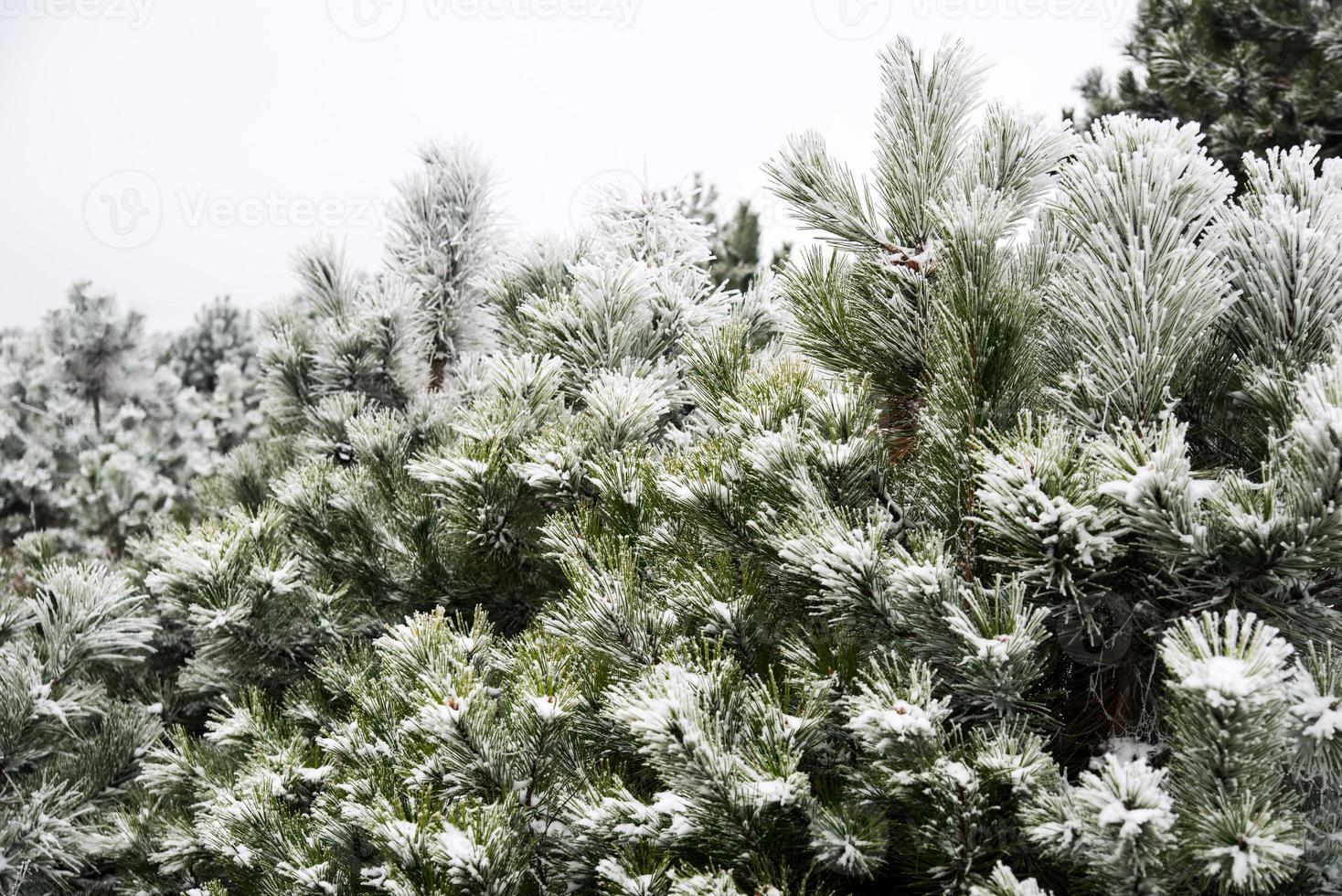 tall- och tallnålar täckta med snö foto