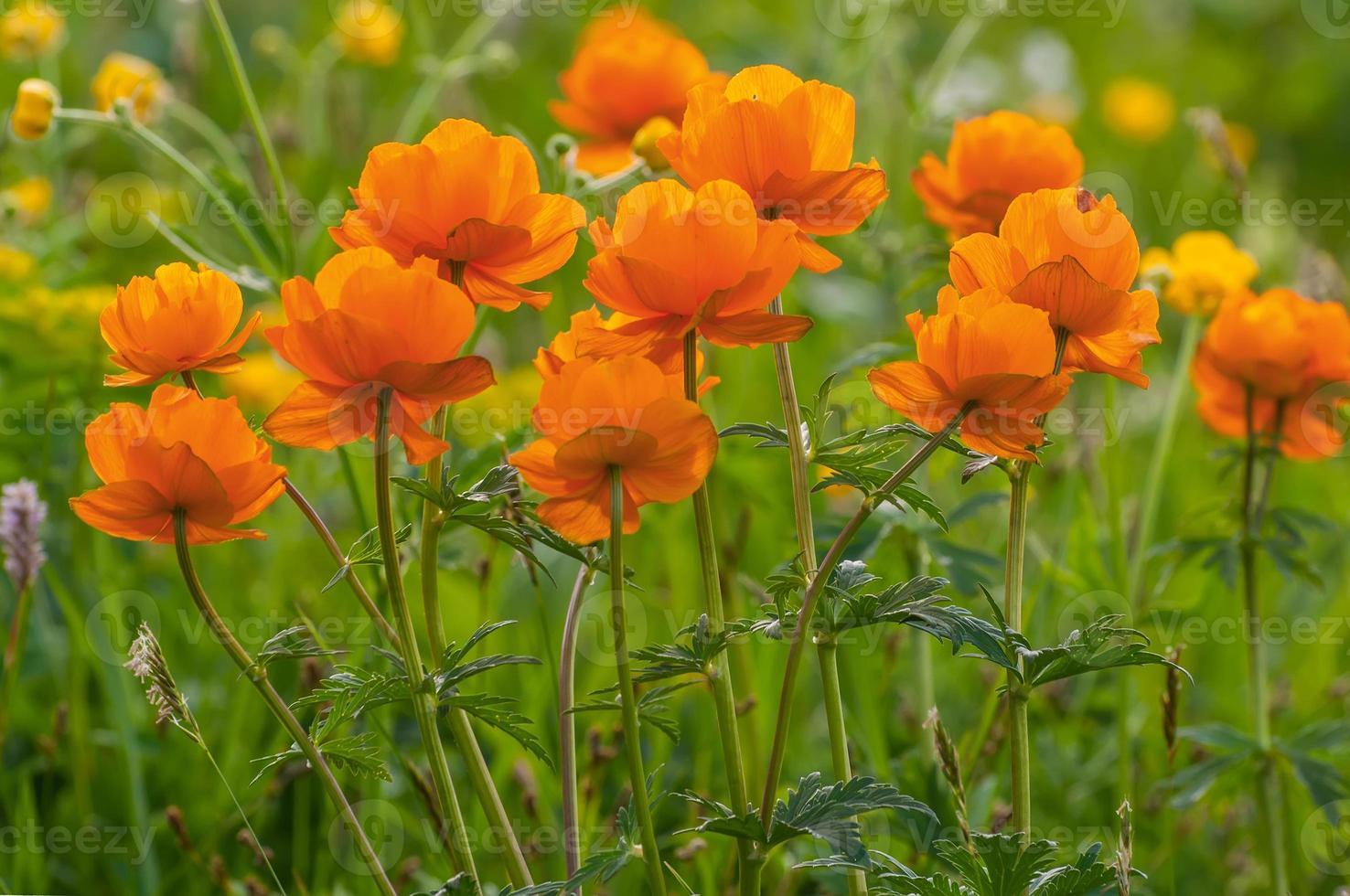 orange blommor äng berg foto