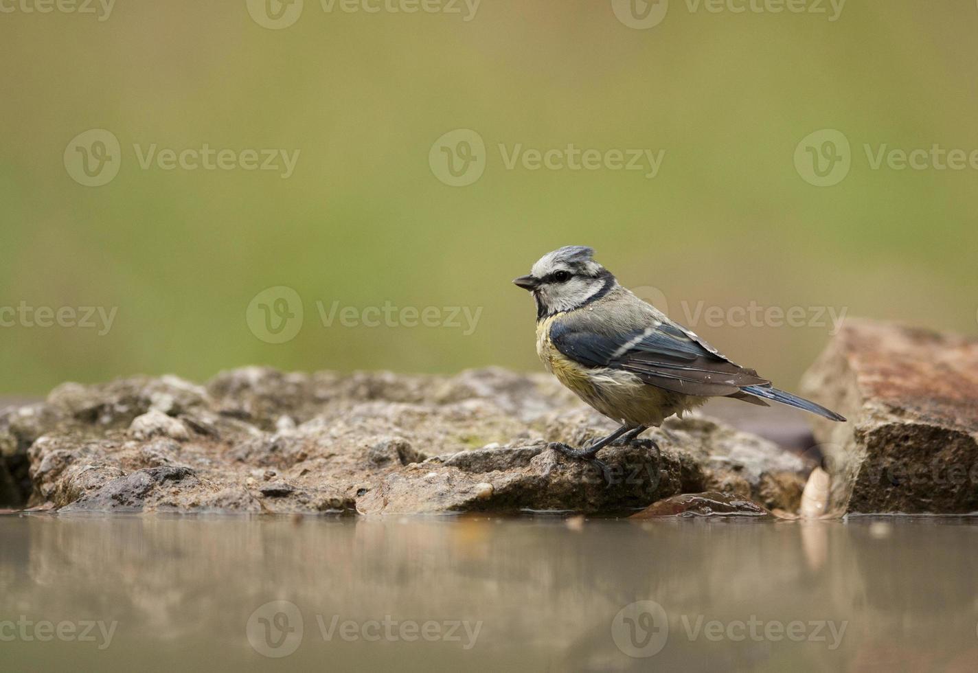 blåmes (parus caeruleus) duscha foto