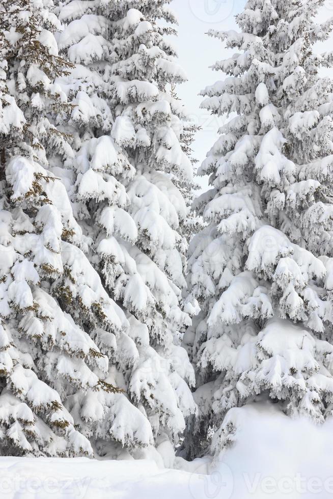 granar täckta med snö på ett vinterberg foto