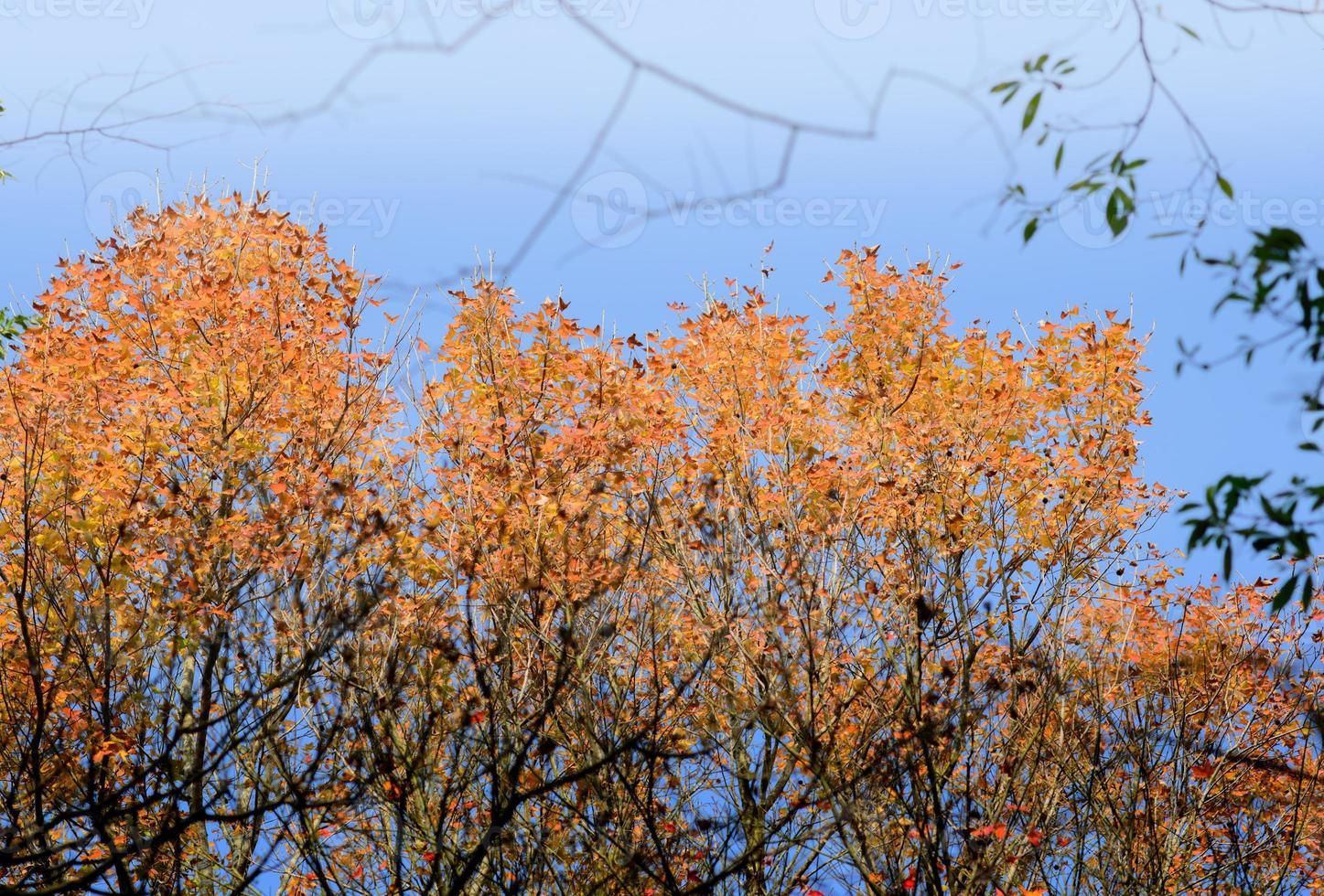 höstens livliga lönnlöv foto