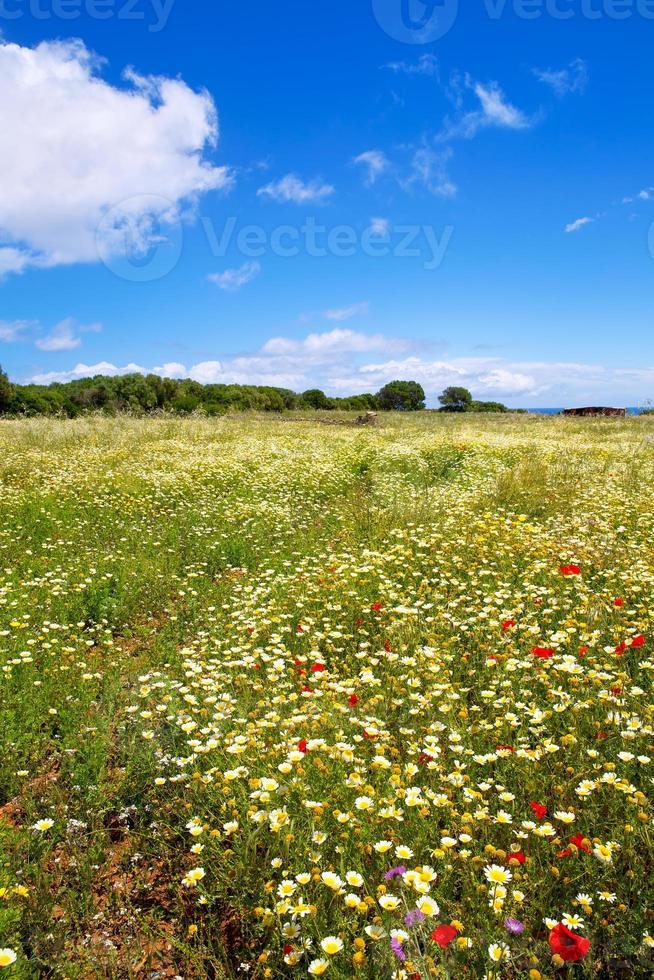 menorca vårfält med vallmo och tusensköna blommor foto