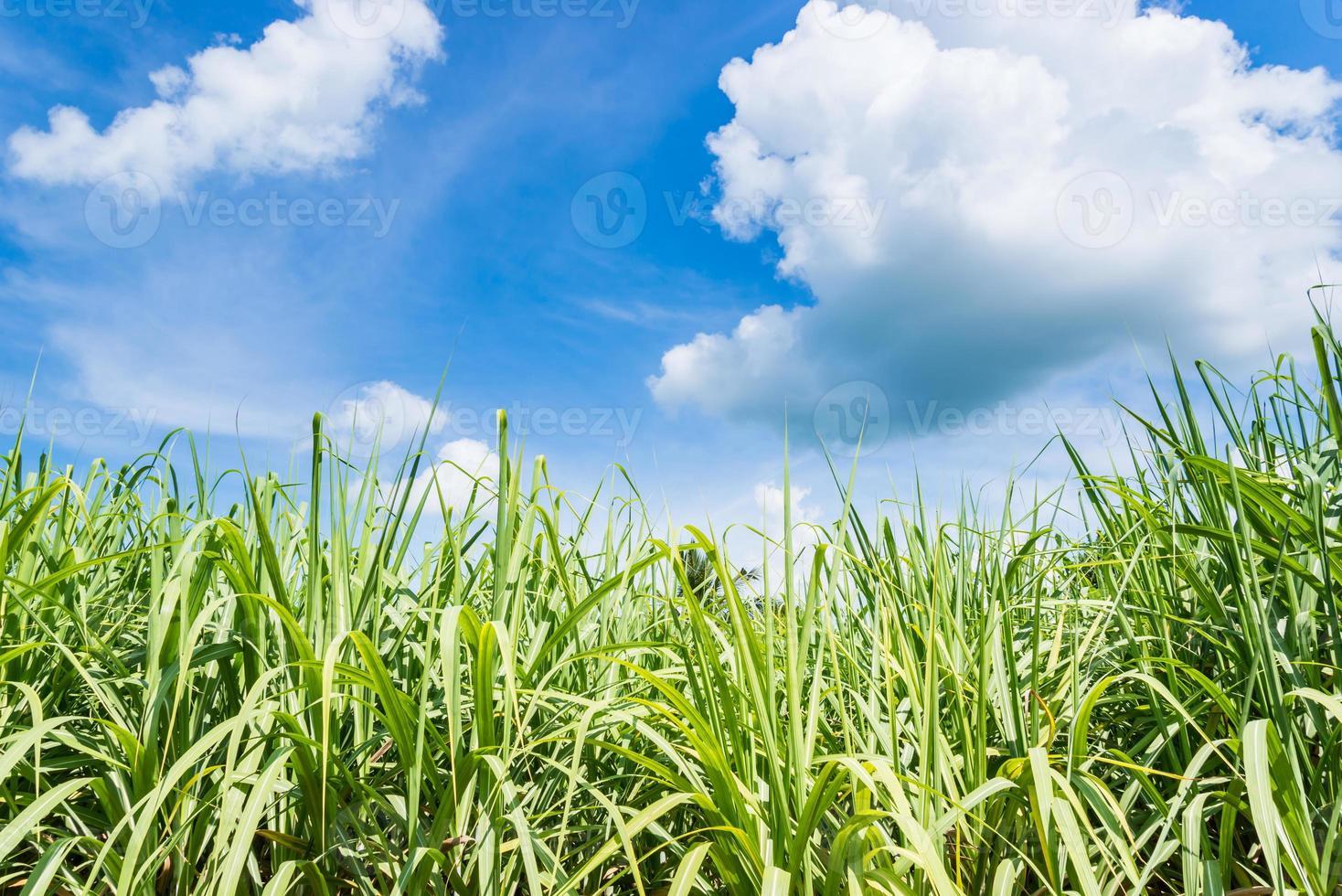 sockerrörsväxter växer i fält foto