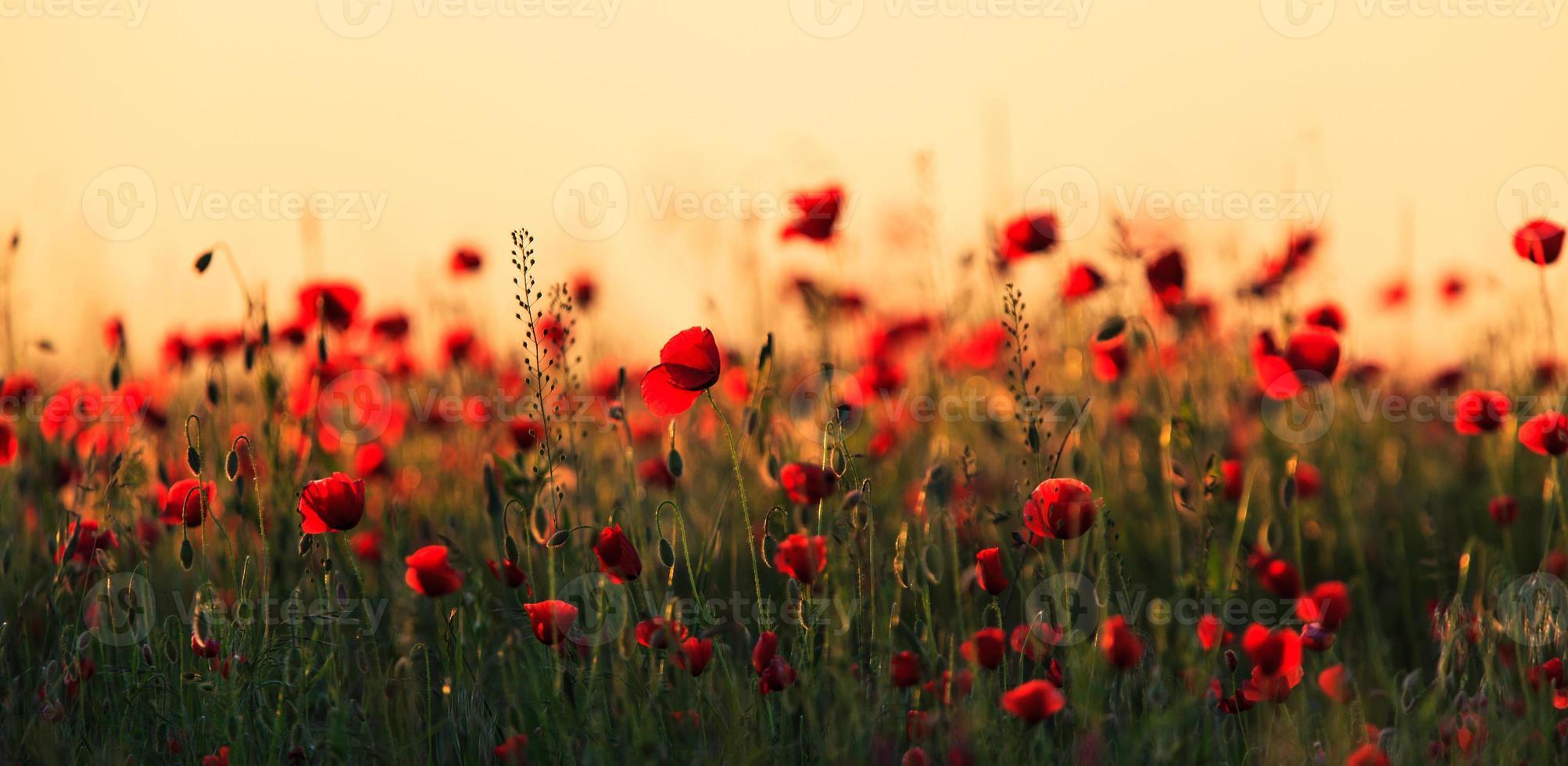 röda vallmo i varmt kvällsljus foto