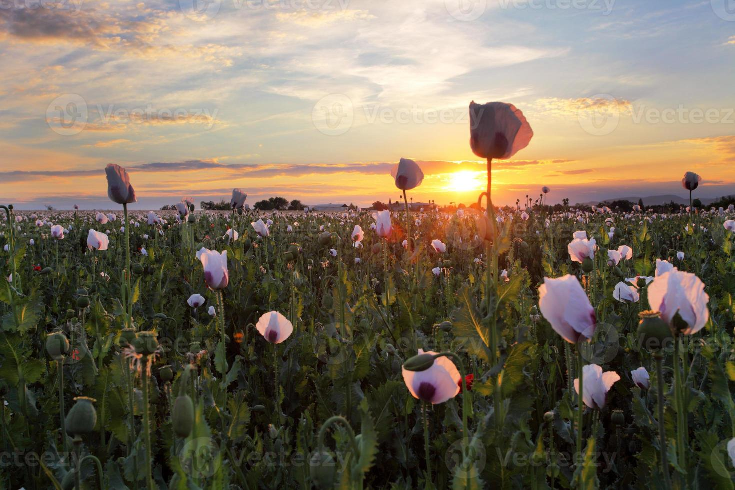 vallmofält vid solnedgången foto