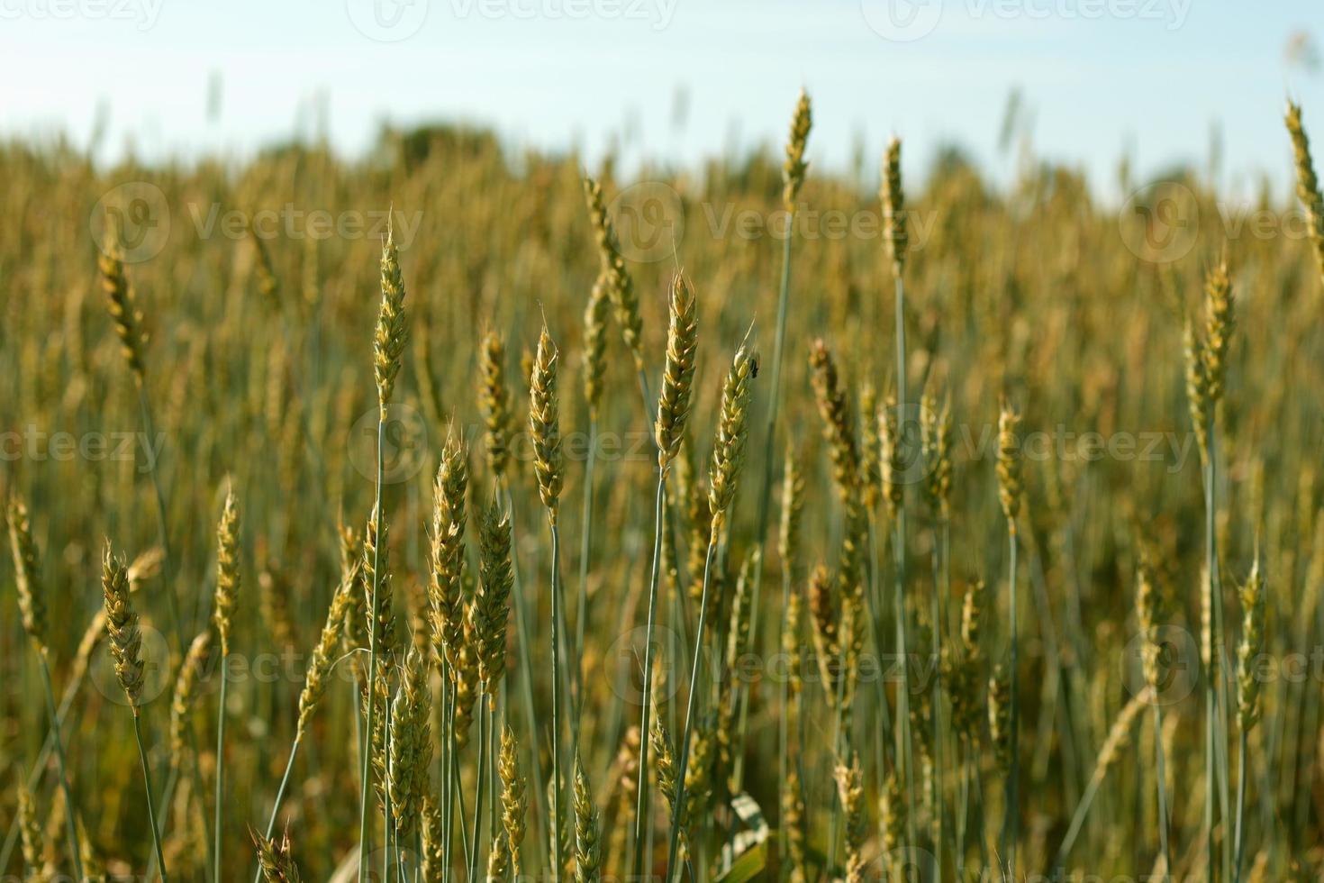 vetefält foto