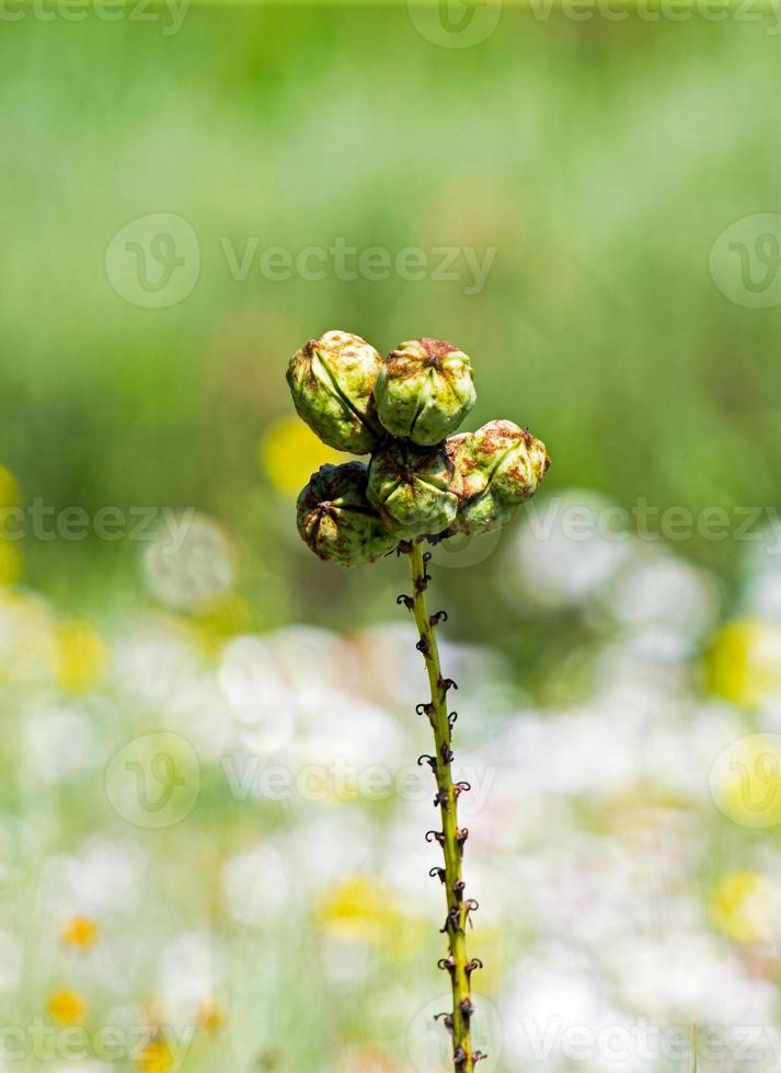 smala blad yucca frukter foto