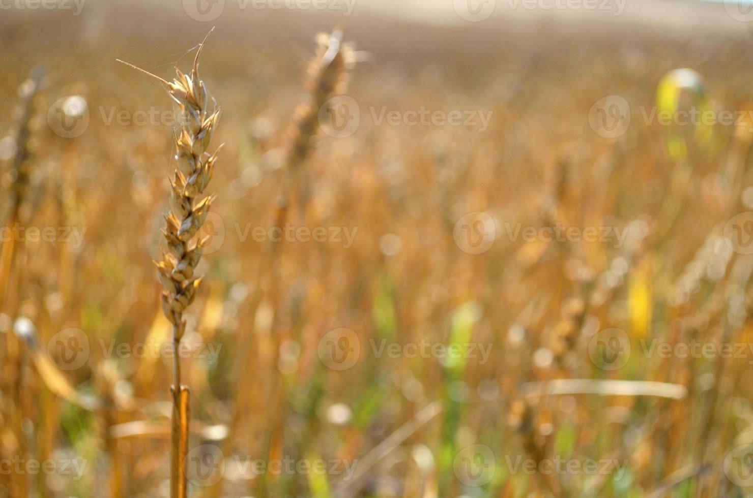 gyllene råg foto