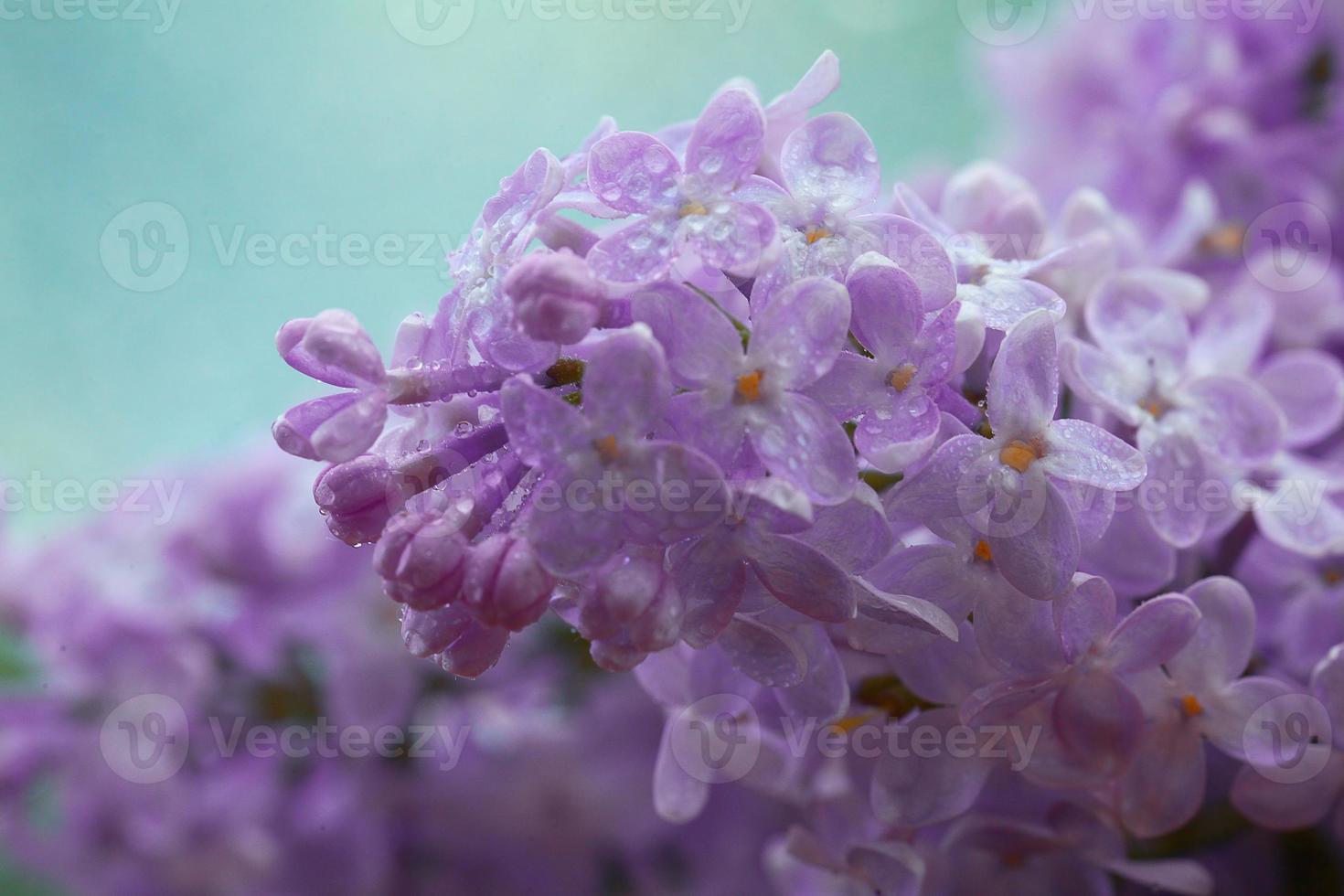 lila blommor makro bakgrund foto