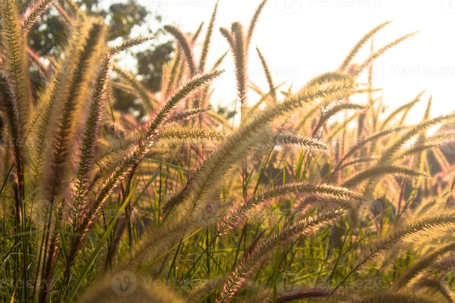 blommande gräs, vintage ljus. foto