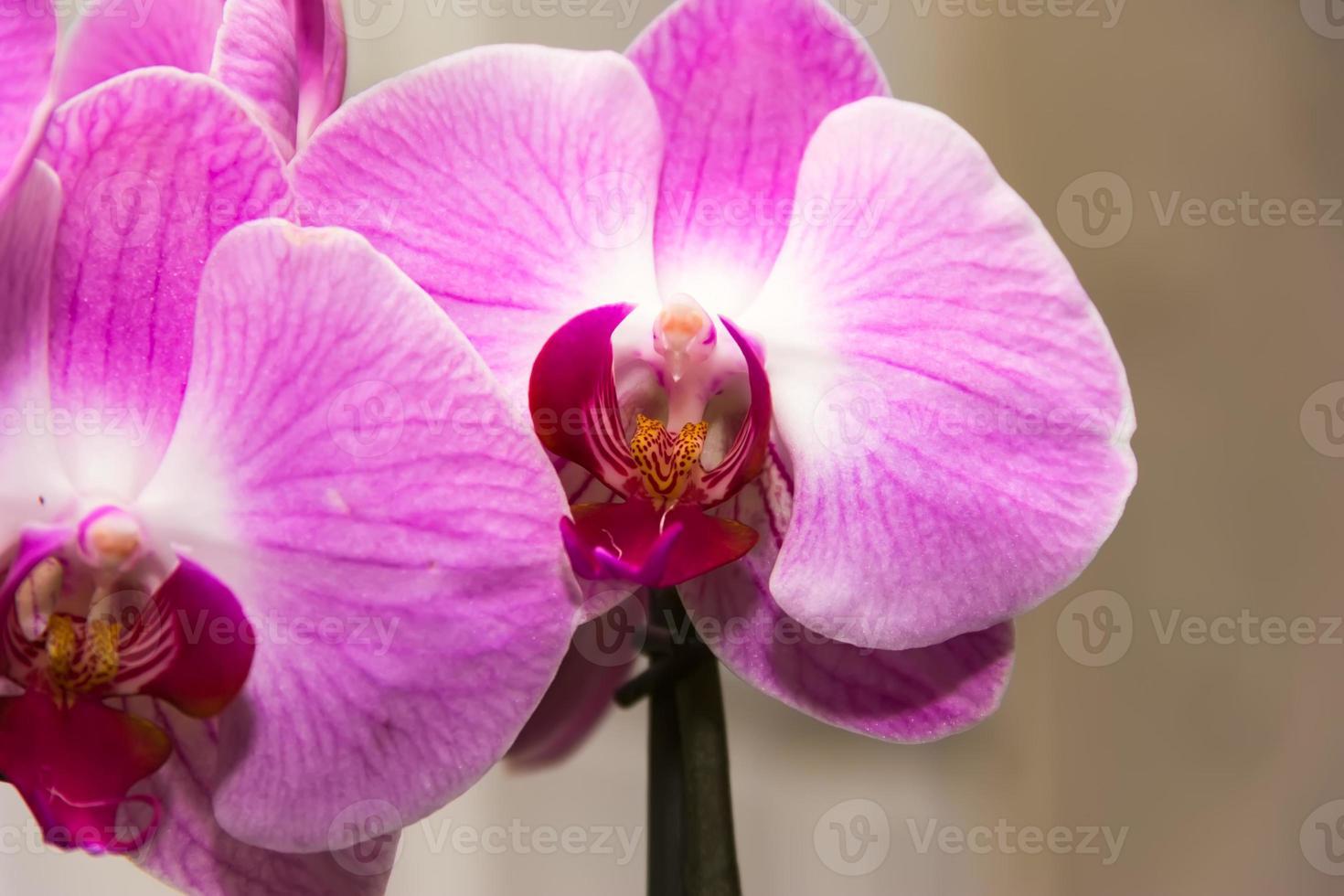orkidé violett foto