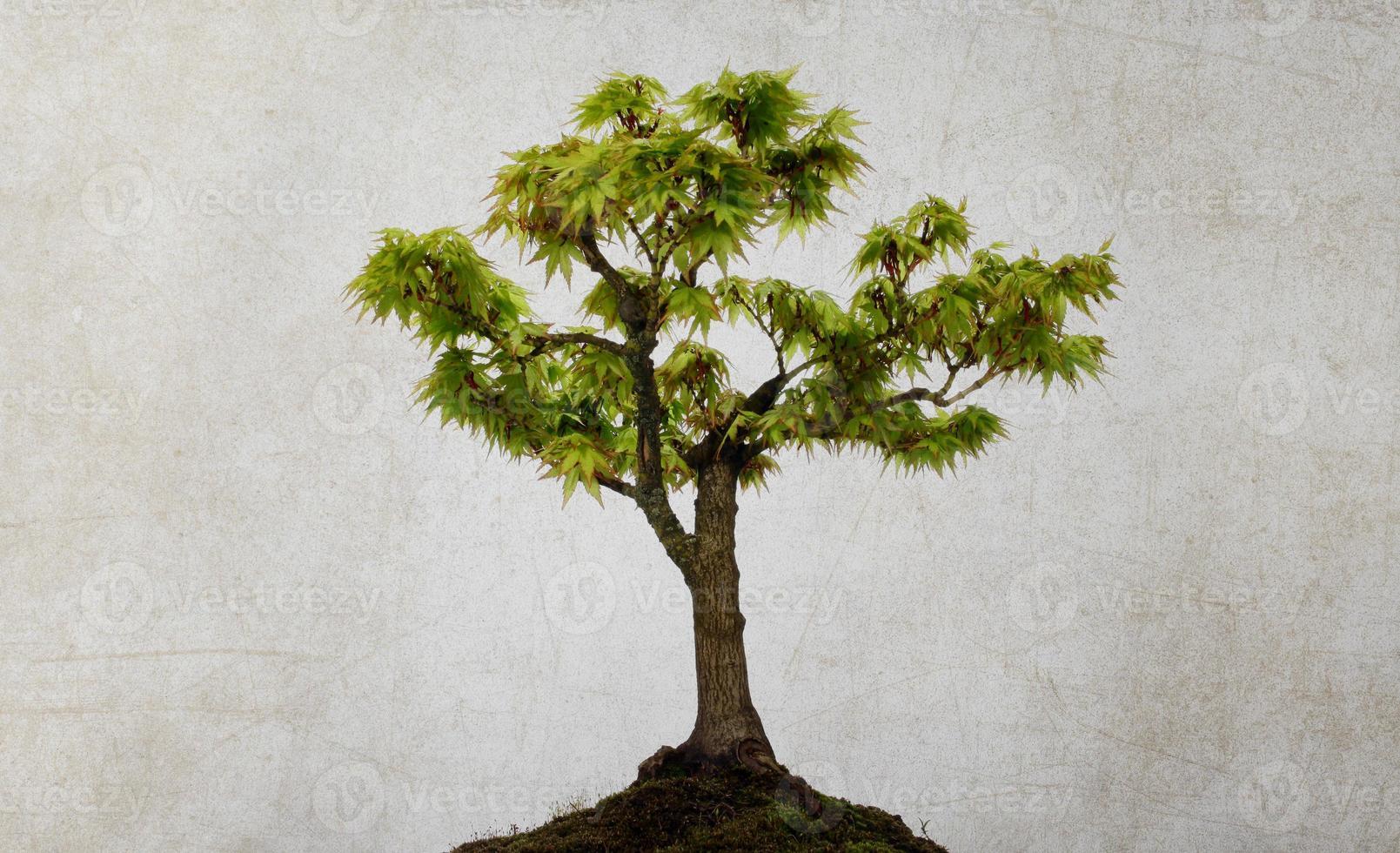 grönt träd lönn foto