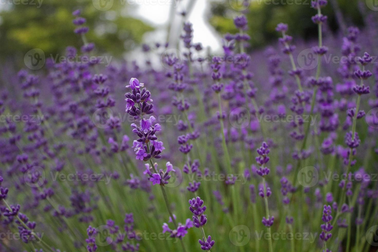 lila lavendel i blom foto