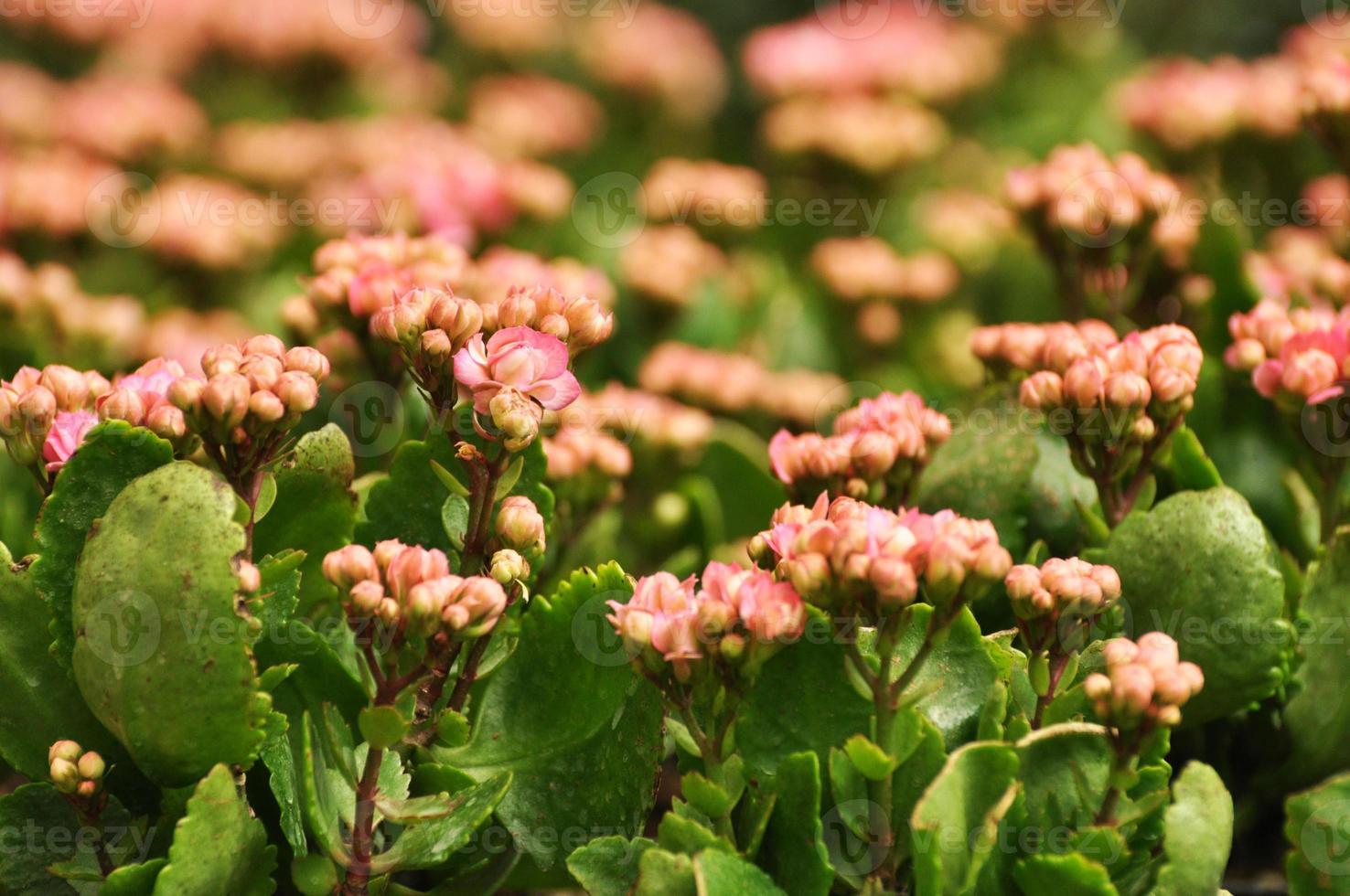 rosa kalanchoe blommor foto