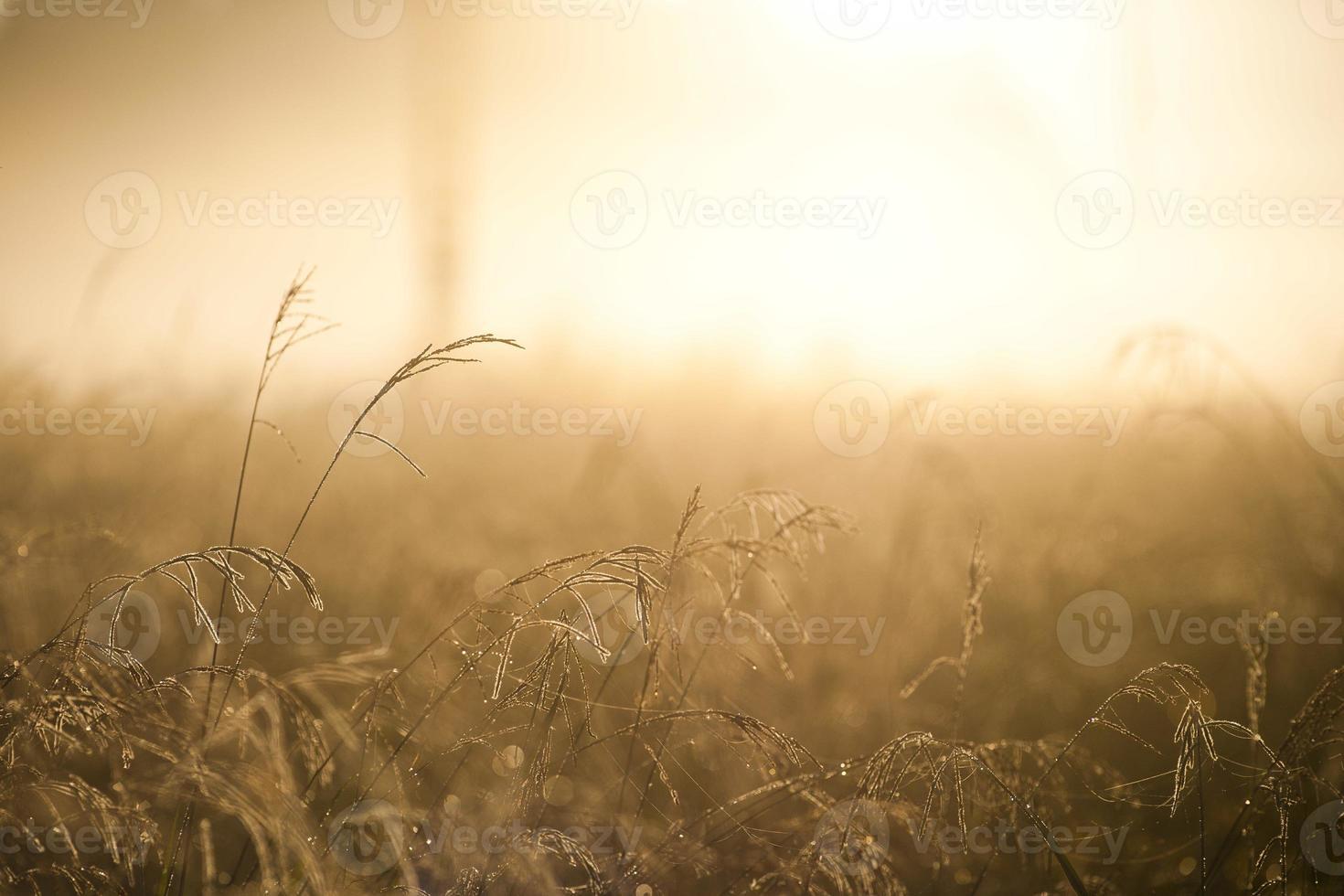 gyllene vass i en solljusstråle foto
