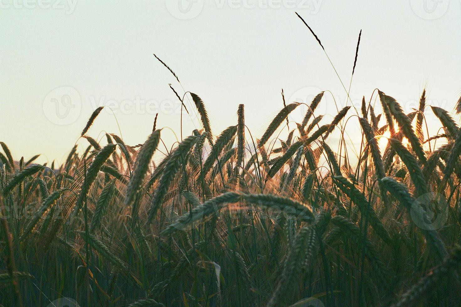 fält av vete foto