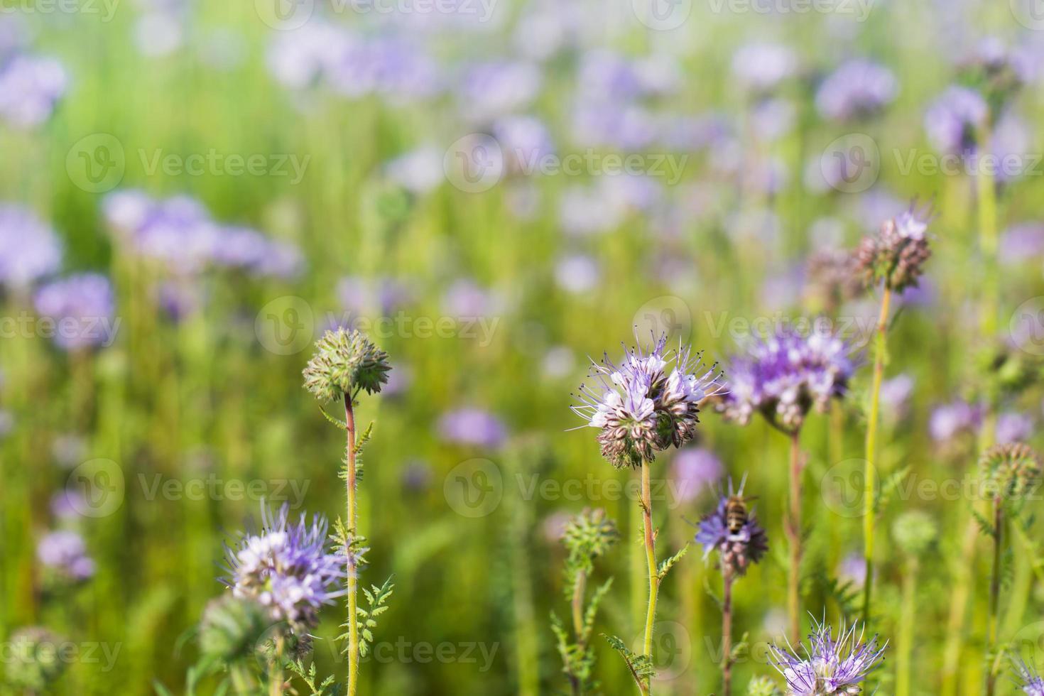 jordbruksfält av phacelia blommor foto