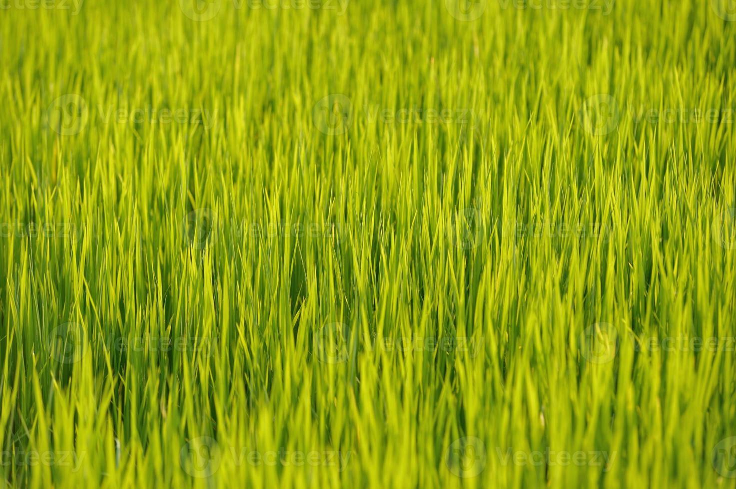grönt ris foto