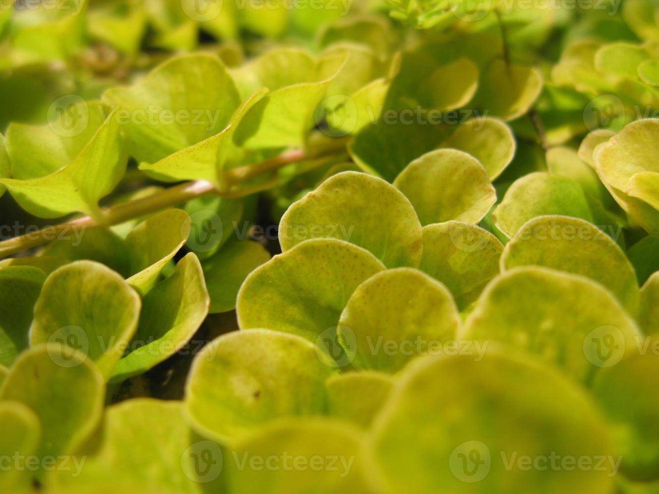 krypande makroskott för jenny grönt vinstockar foto