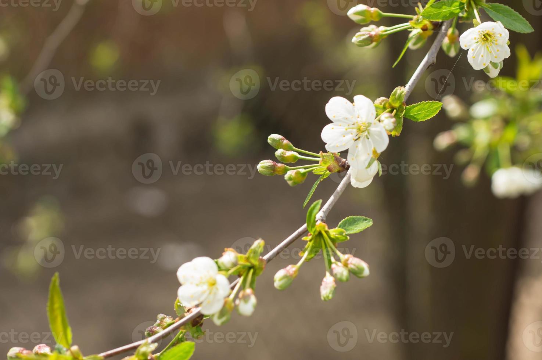 det blommande körsbärsträdet på solig vårdag foto