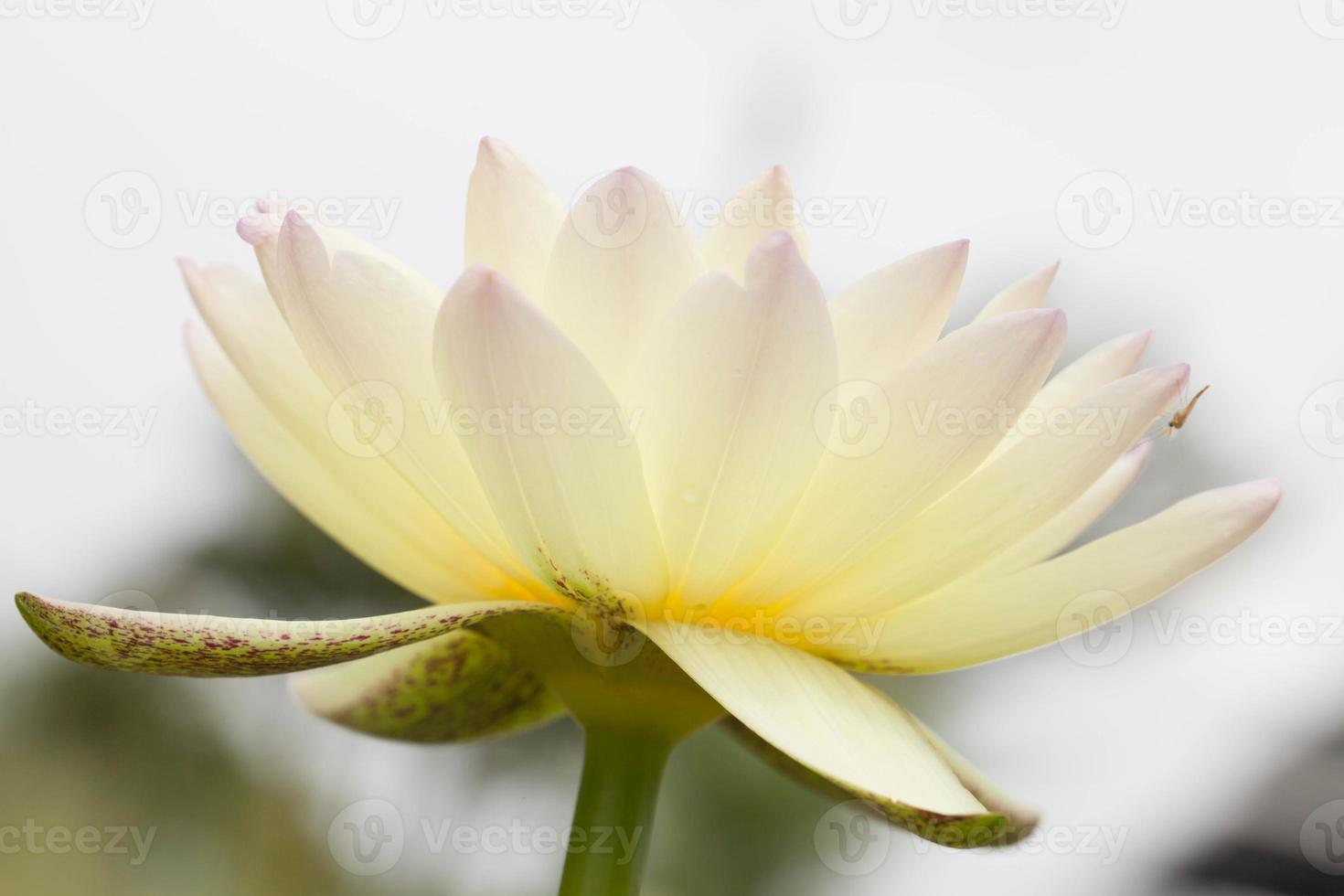 gul lotusblomma foto