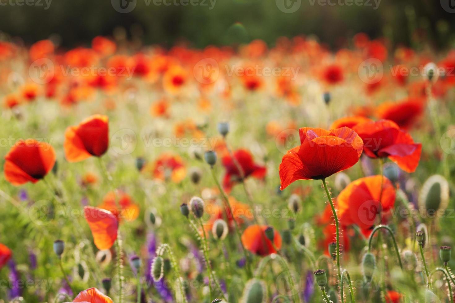 vackra blommande vallmo foto