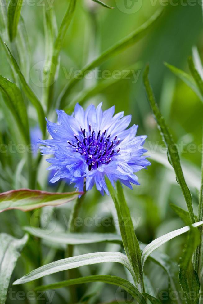 blå centaurea cyanus i full blom foto
