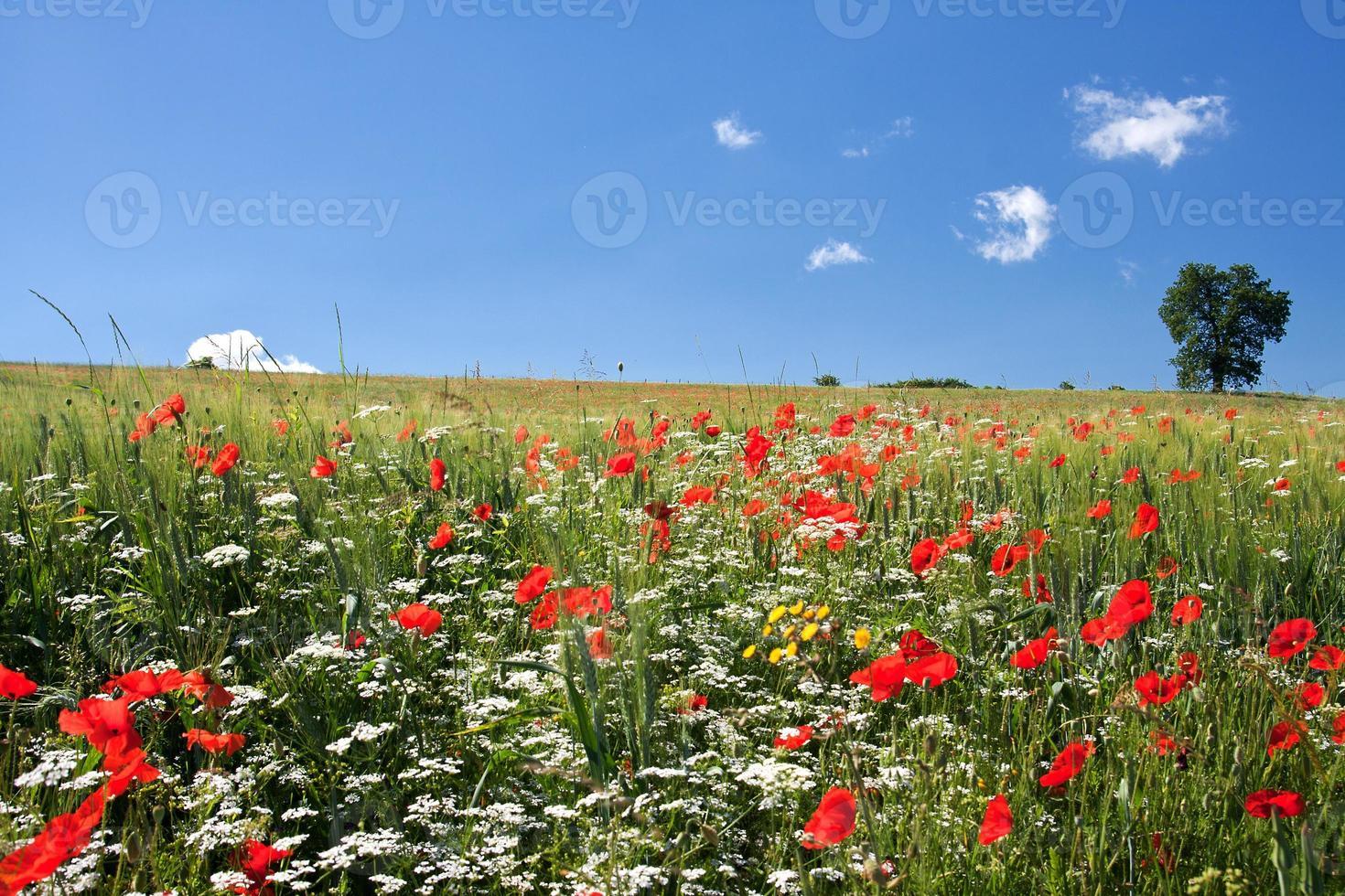 vallmofält i centrala Italien foto