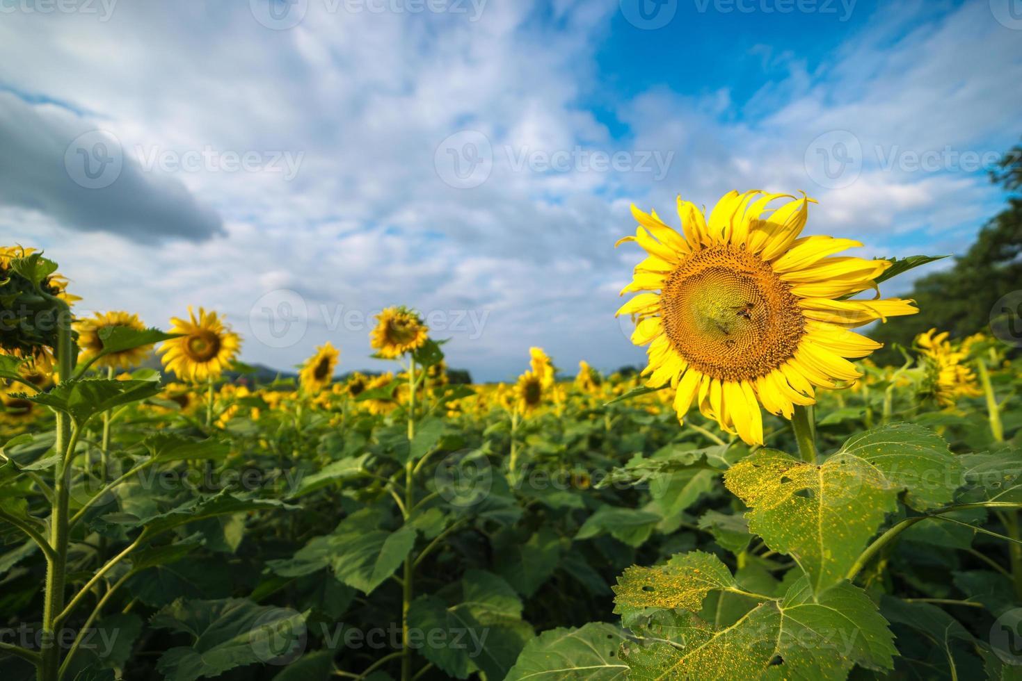 blommande solrosfält med blå himmel. foto
