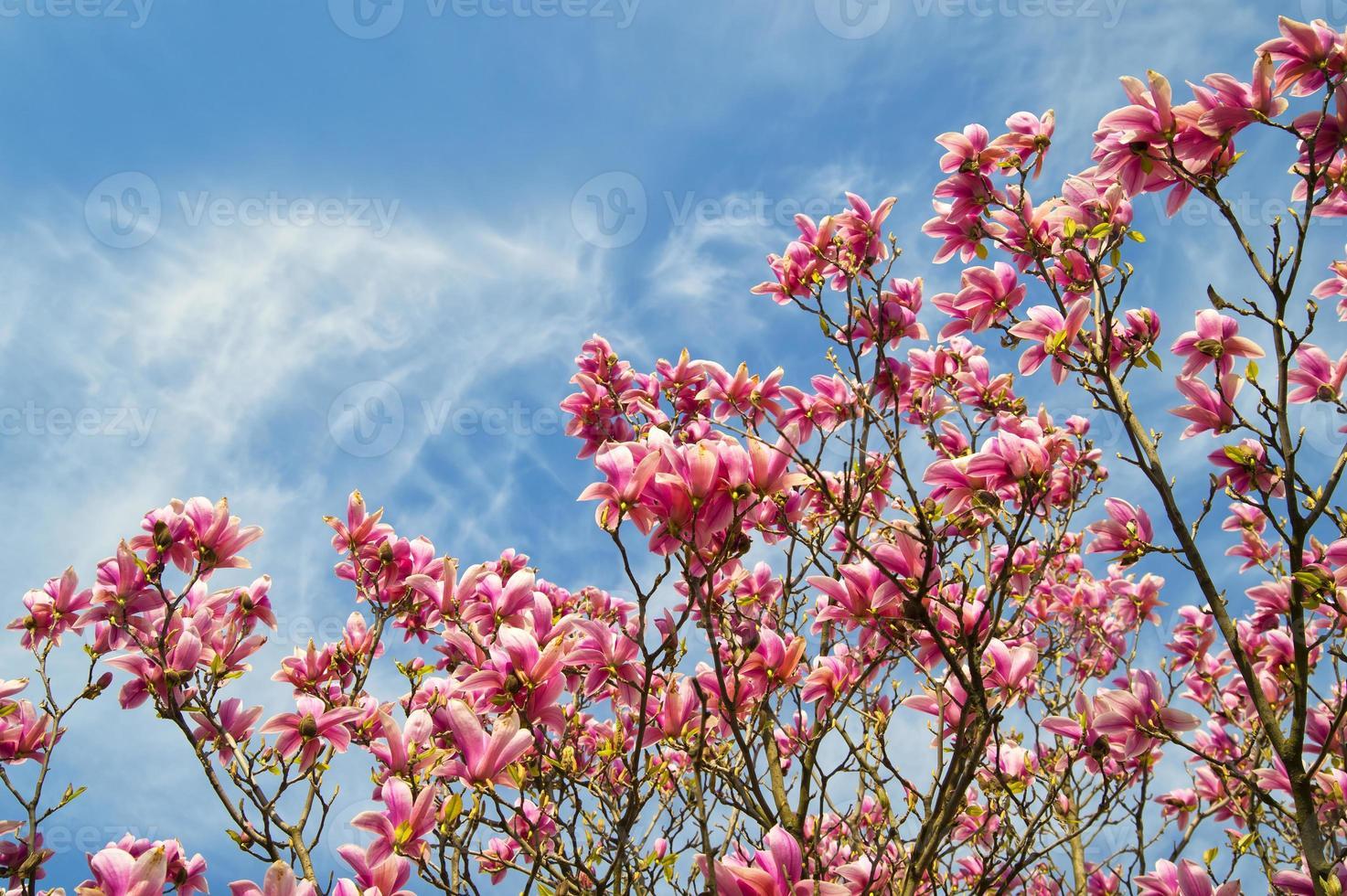 rosa magnoliaträd över blå himmel foto