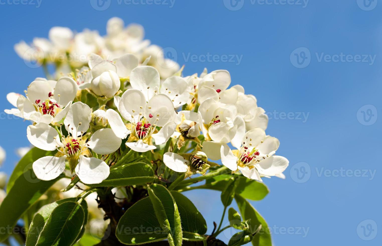 körsbärsblommor mot en blå himmel foto
