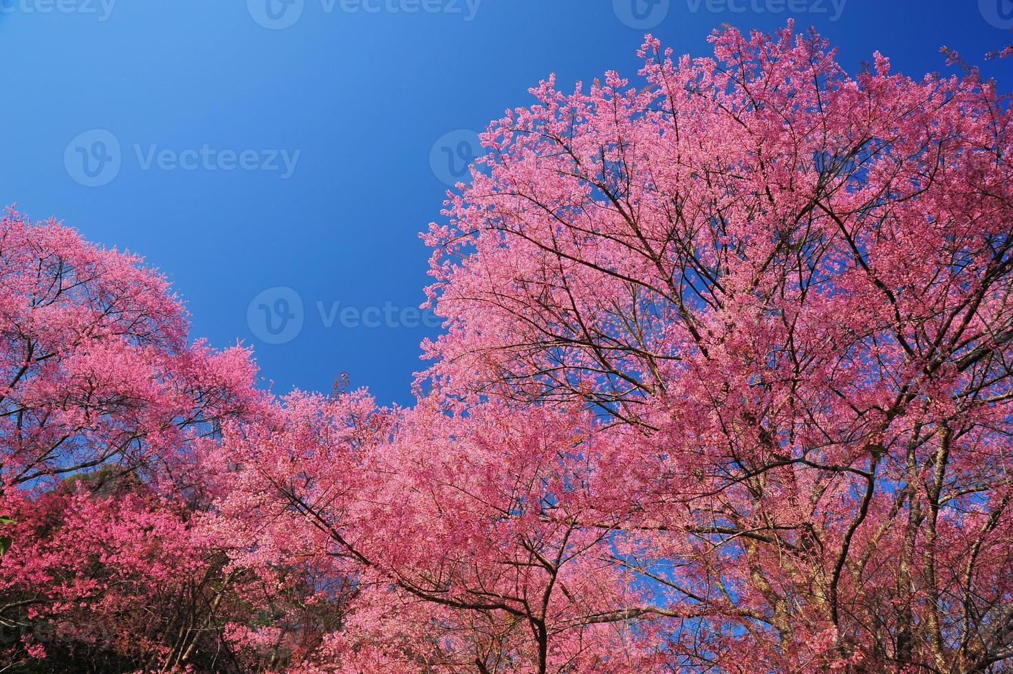 vårkörsbärsblommor med bakgrund för blå himmel foto