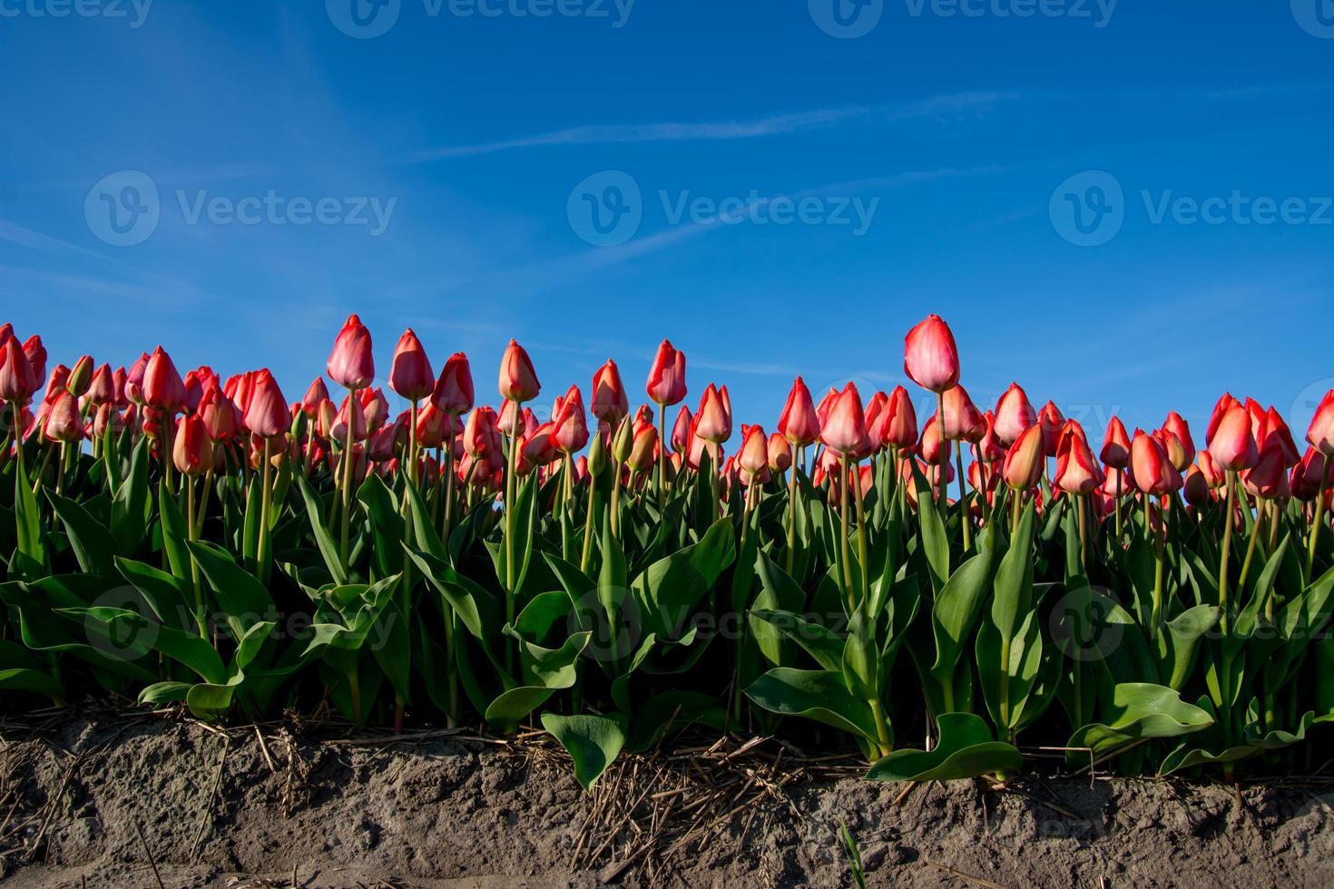 fält av tulpaner med en blå himmel foto