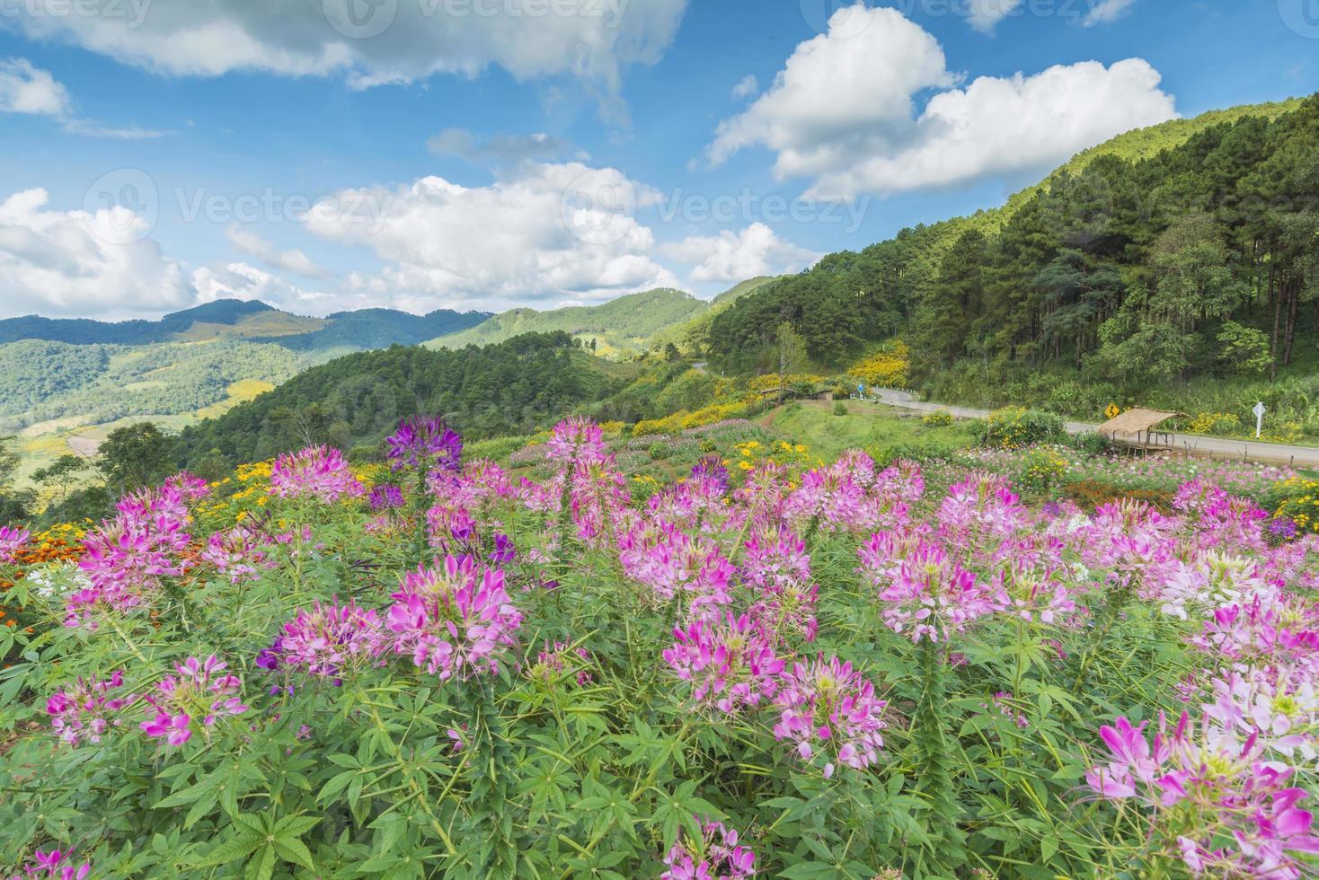 fält av rosa blommor och blå himmel foto