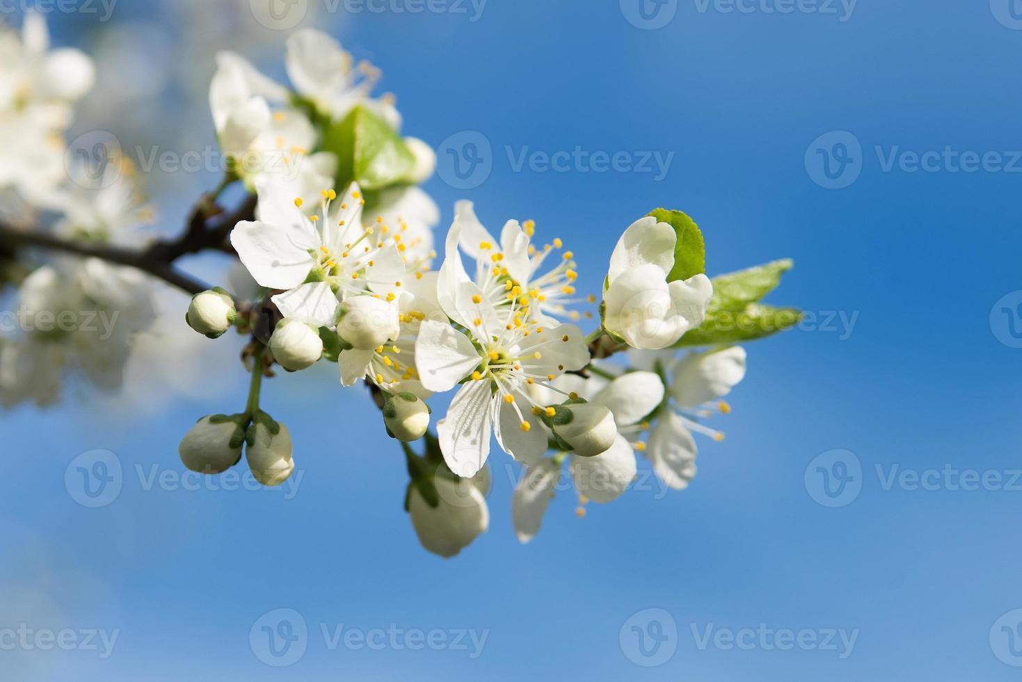 äppelträd blommar. solig dag. blå himmel foto