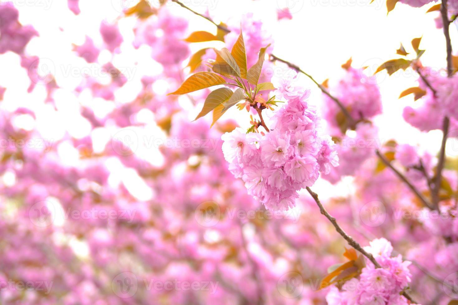 blommande träd med dubbla körsbärsblommor och blå himmel foto