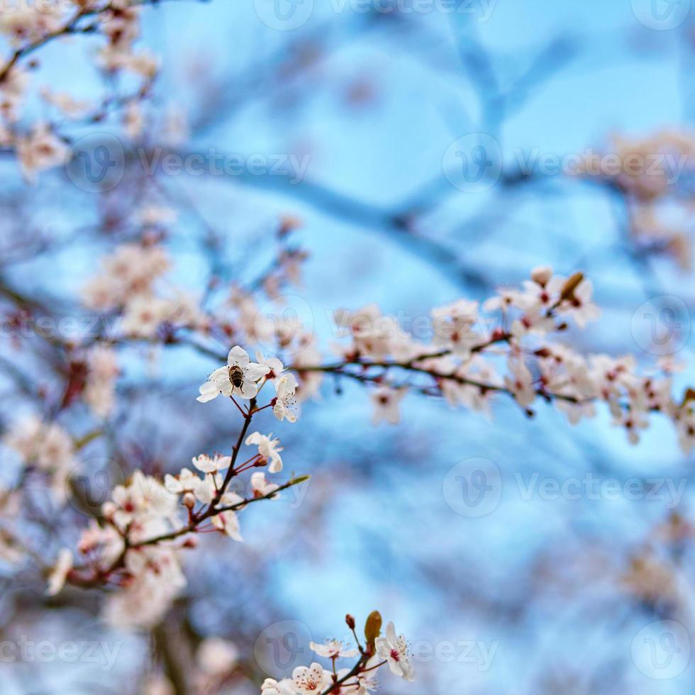 körsbärsblommor mot den blå himlen foto