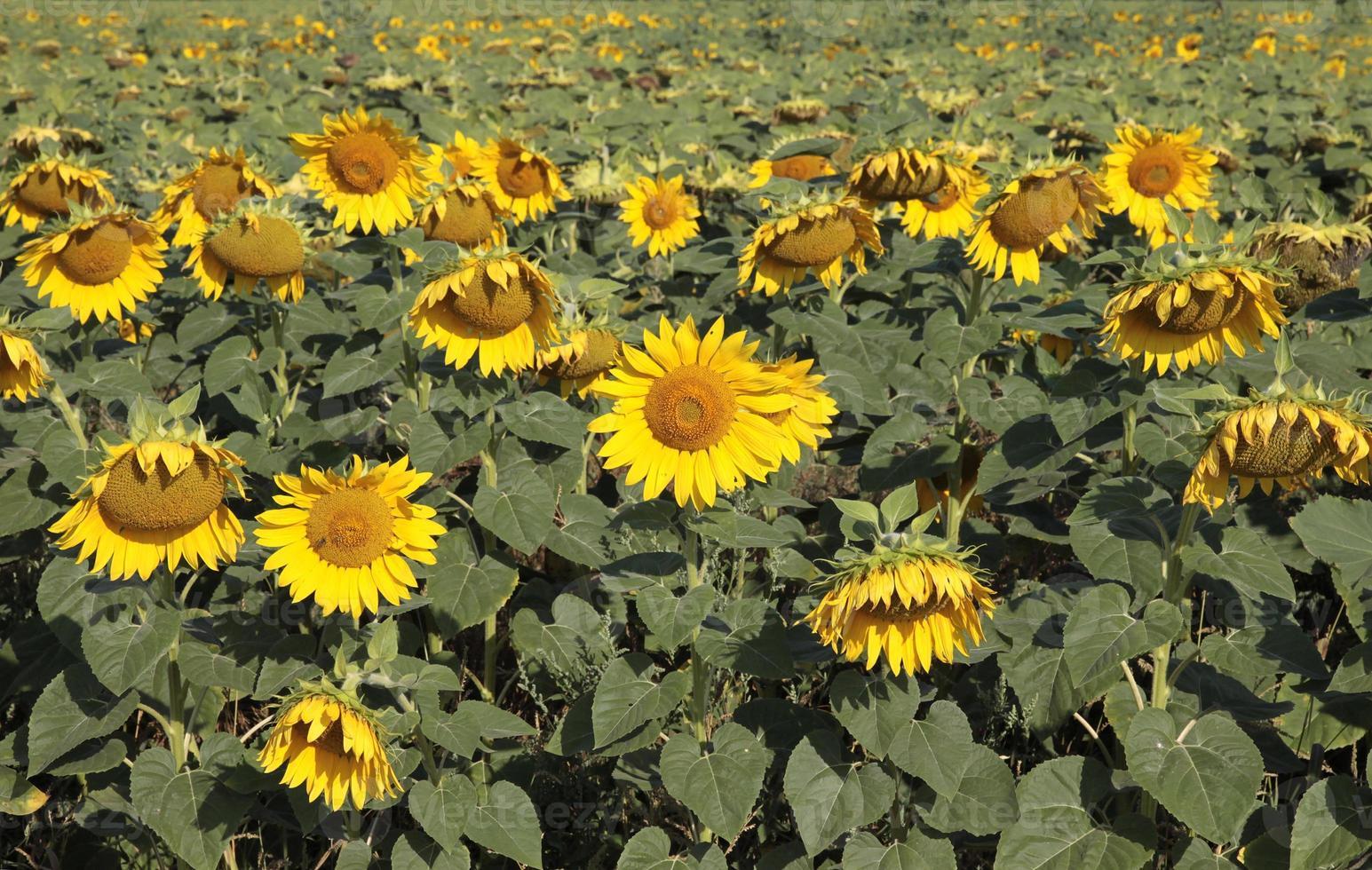 fält av solrosor. foto