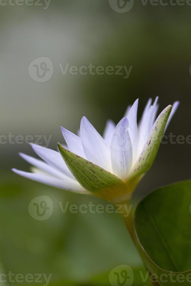 vit näckros foto