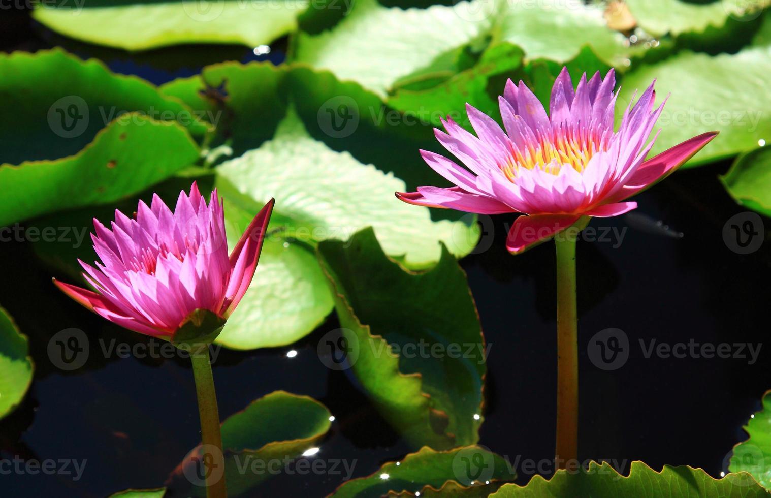lotus på vatten foto