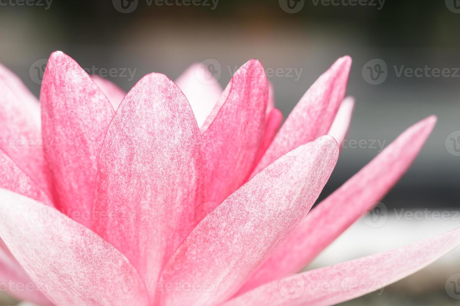 rosa näckros i dammet foto