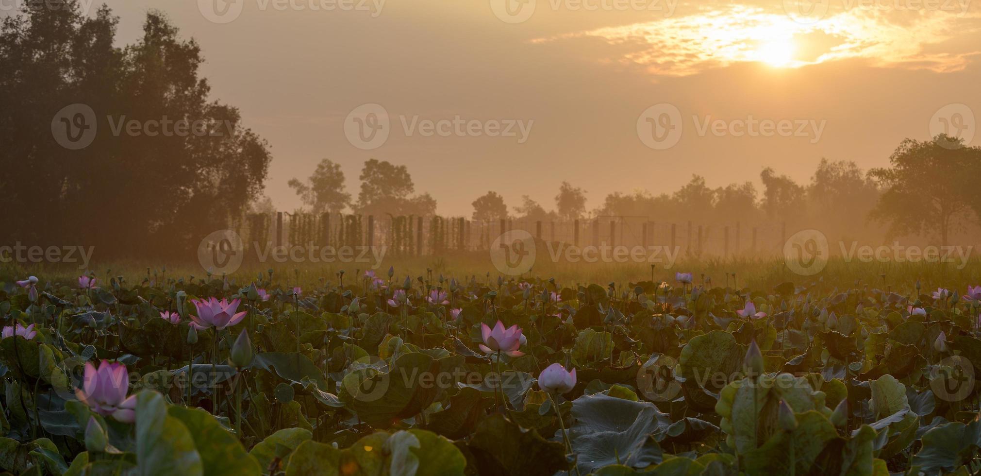 lotus i soluppgång foto