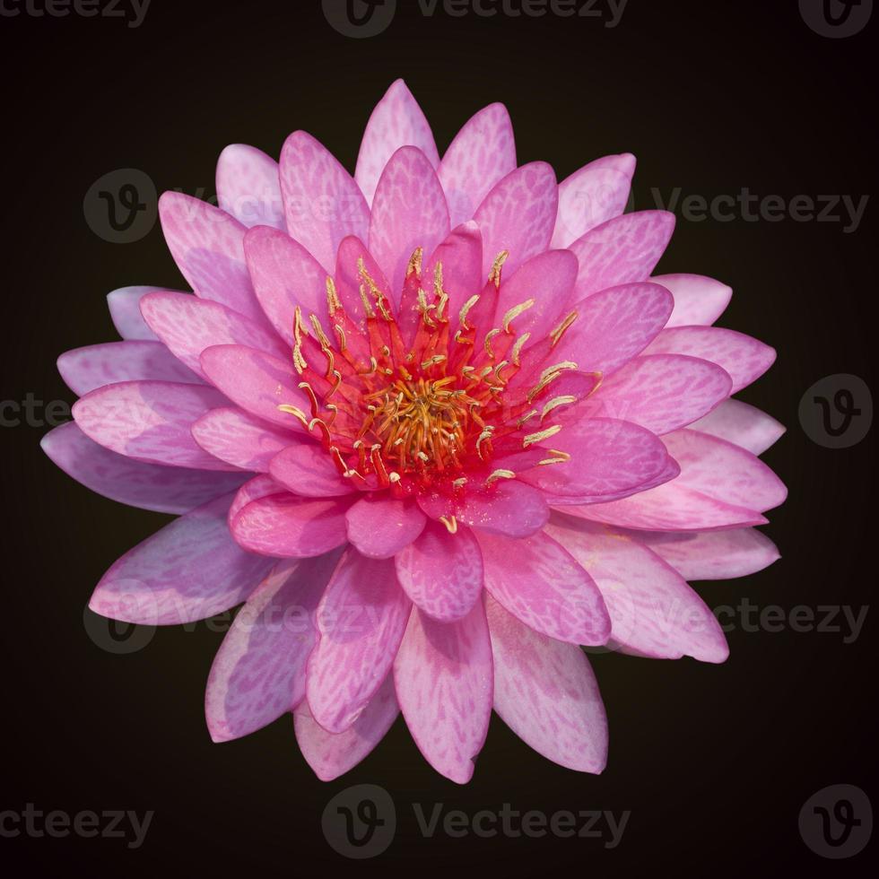 den vackra rosa lotus isolerade foto