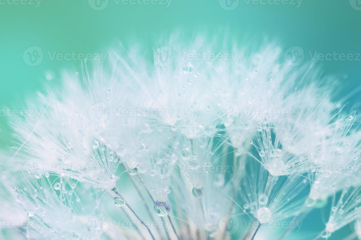 anbud vit maskros utsäde med vattendroppar foto