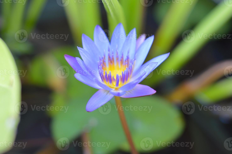 blå lotusblomma foto