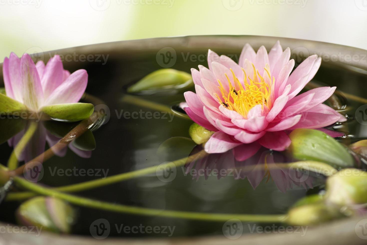 levande lotus över suddig bakgrund foto